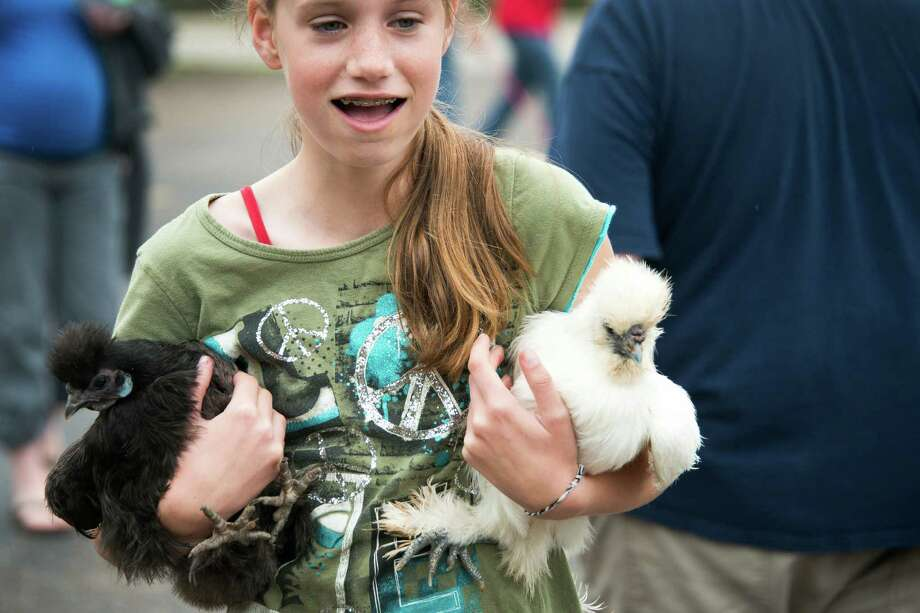 Aletta Husmann, 12, brings her chickens Ebony and Ivory to the annual  Blessing of the Animals at Bellaire United Methodist Church. The chickens are two of the 30 Hussman is raising as one of her 4H projects at Johnston Middle School. Photo: Smiley N. Pool, Houston Chronicle / © 2013  Houston Chronicle
