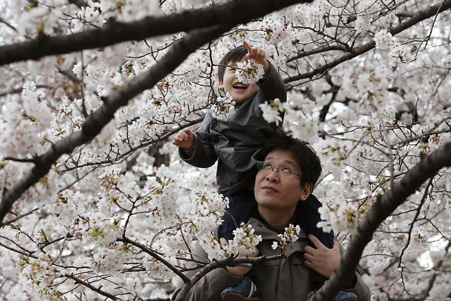 A child and father enjoy the blooming cherry blossoms at the Chidorigafuchi Imperial Palace moat in Tokyo, Sunday, March 24, 2013.  Photo: Shizuo Kambayashi, Associated Press
