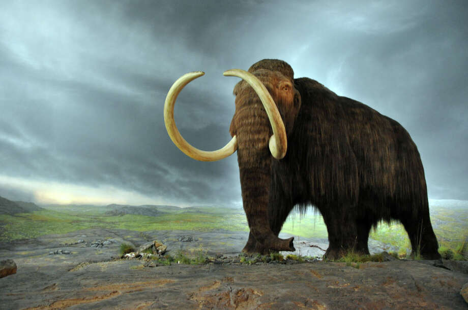 Will wooly mammoths stalk the Earth once more? If de-extinction movement proponent and Whole Earth Catalog founder Stewart Brand has his way, they just might. Photo courtesy of Royal BC Museum in Victoria Photo: Contributed Photo