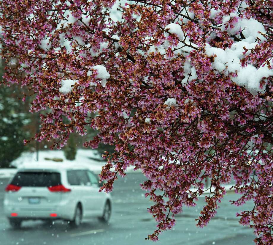 An early blooming Cherry tree is seen covered in snow in Centreville, Virginia, March 25, 2013.  A messy Monday is in store for millions along the East Coast, with winter weather advisories warning of a mixture of snow and rain for Washington, DC, Philadelphia, metropolitan New York and parts of northeast New Jersey.    AFP Photo/Paul J. RichardsPAUL J. RICHARDS/AFP/Getty Images Photo: PAUL J. RICHARDS