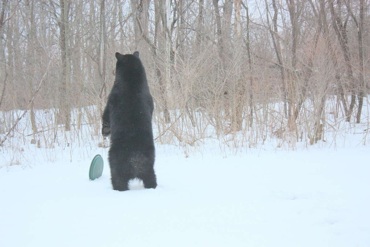 A bear stands in the back yard of a North Greenbush family's home. The homeowner says the bear emptied birdfeeders before going after the garbage can. (Courtesy: Virginia Pastizzo)