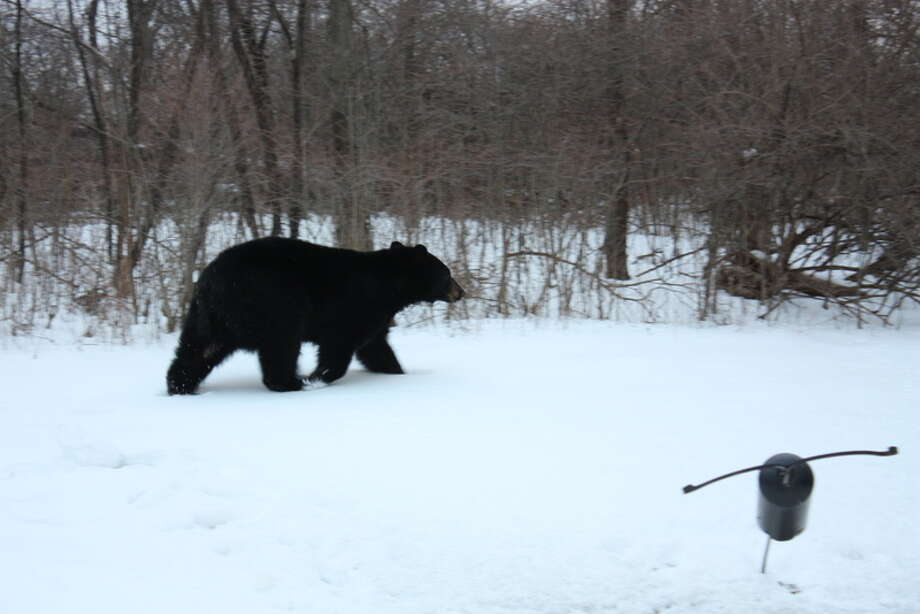 A bear walks in the back yard of a North Greenbush family's home on Friday, March 22, 2013. The homeowner says the bear emptied birdfeeders before going after the garbage can. (Courtesy: Virginia Pastizzo) Photo: Picasa