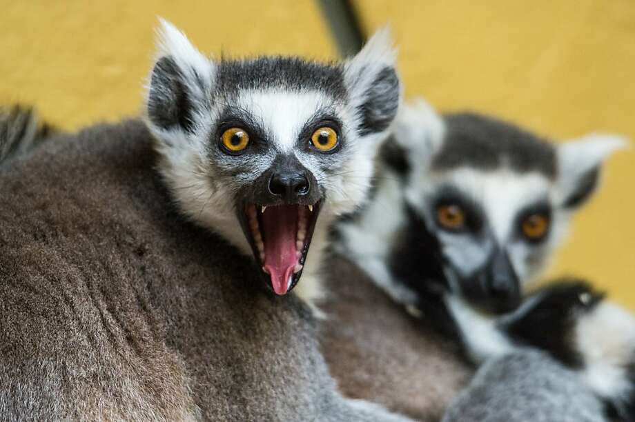 Florida Gulf Coast is in the Sweet 16?! That's crazy talk! (Ring-tailed lemurs,  Tierpark zoo in Straubing, Germany.) Photo: Armin Weigel, AFP/Getty Images