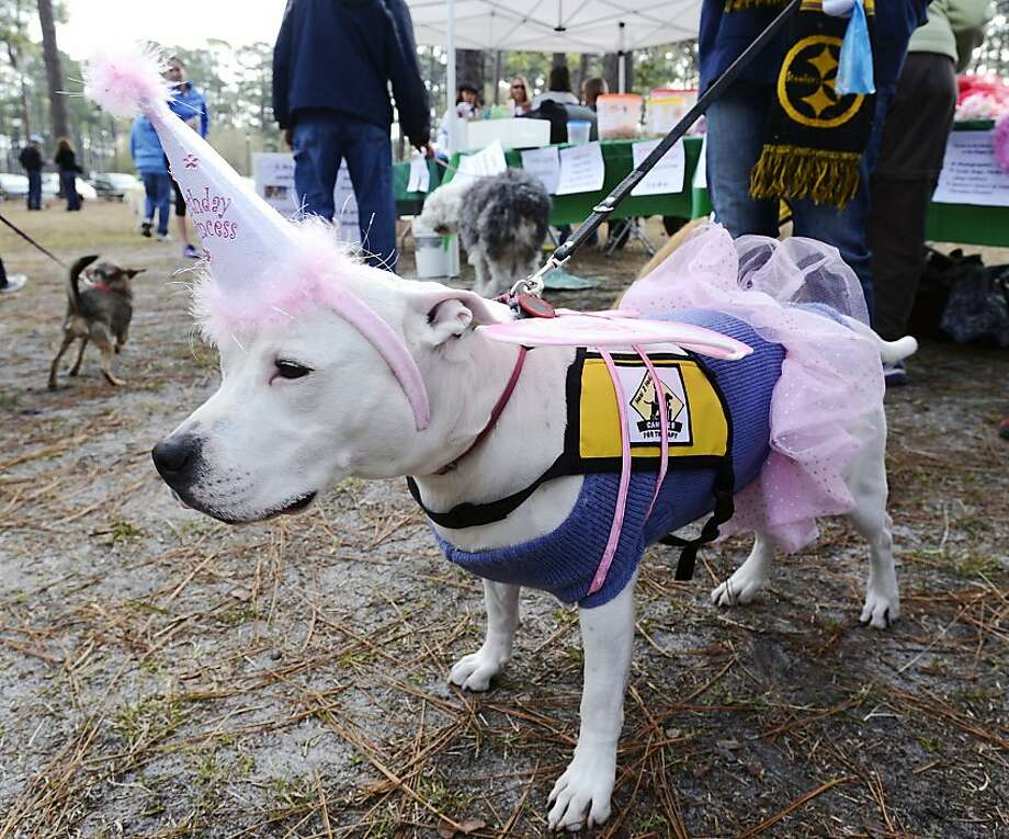 Beware of the pit bull at the Canines for Service Walk for Those Who Can't fundraiser at Hugh McCrae Park in Wilmington, N.C. He might grant you three wishes. Photo: Jeff Janowski, Associated Press