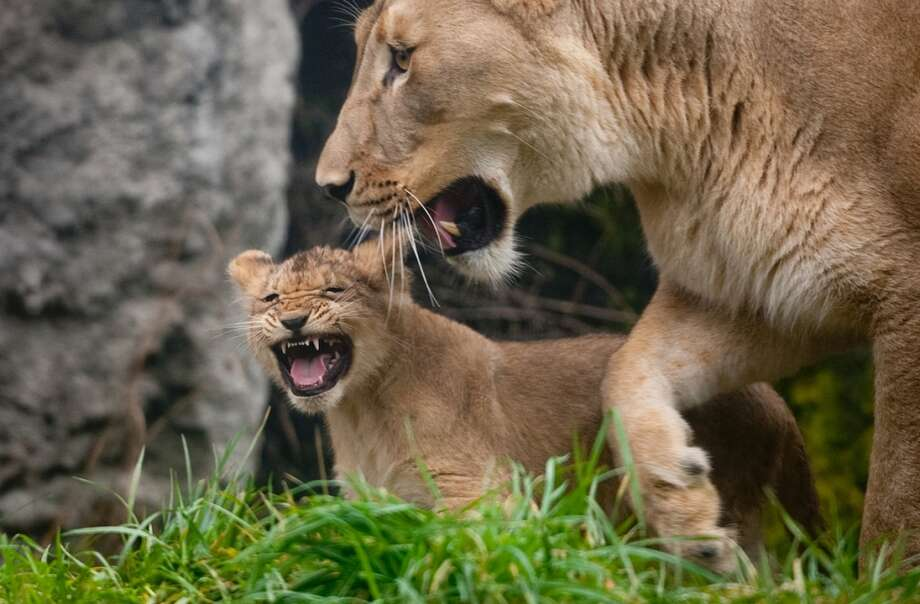 One of Woodland Park Zoo's four new lion cubs lets out a roar with mom Adia explore their enclosure during a brief trip outside on Saturday, February 2, 2013.
