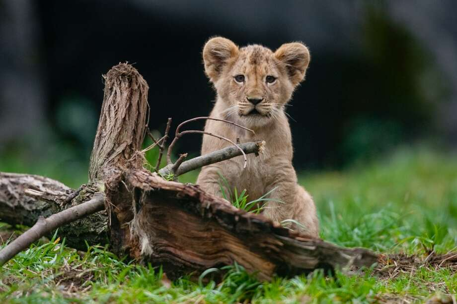 One of Woodland Park Zoo's four new lion cubs explores the enclosure during a brief trip outside on Saturday, February 2, 2013.
