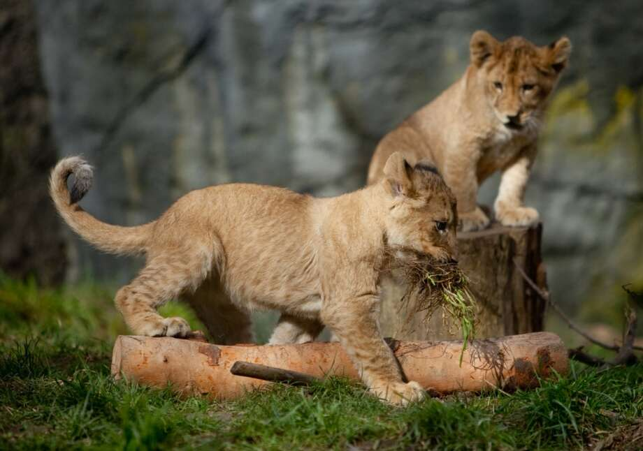 Woodland Park Zoo's new lion cubs make their public debut on Saturday, February 16, 2013.
