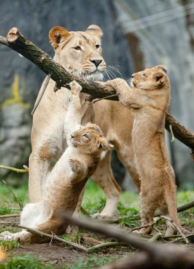 Woodland Park Zoo's new lion cubs make their public debut with mom, Adia at the zoo in Seattle.