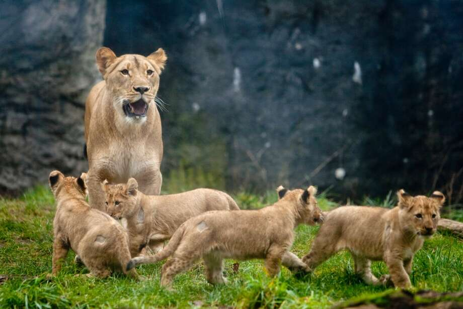 Woodland Park Zoo's four new lion cubs explore their enclosure with mom, Adia.