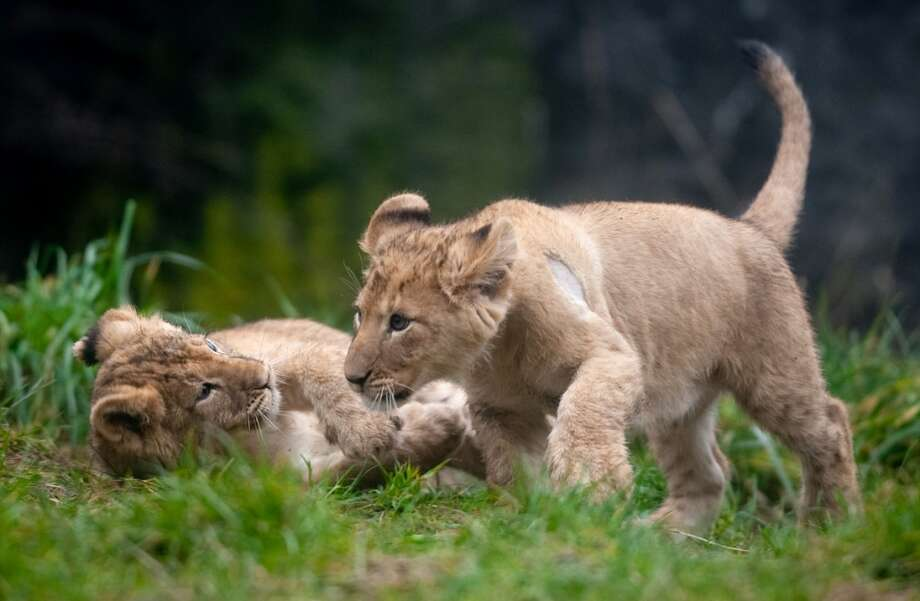 Woodland Park Zoo's new lion cubs explore their enclosure during a brief trip outside.