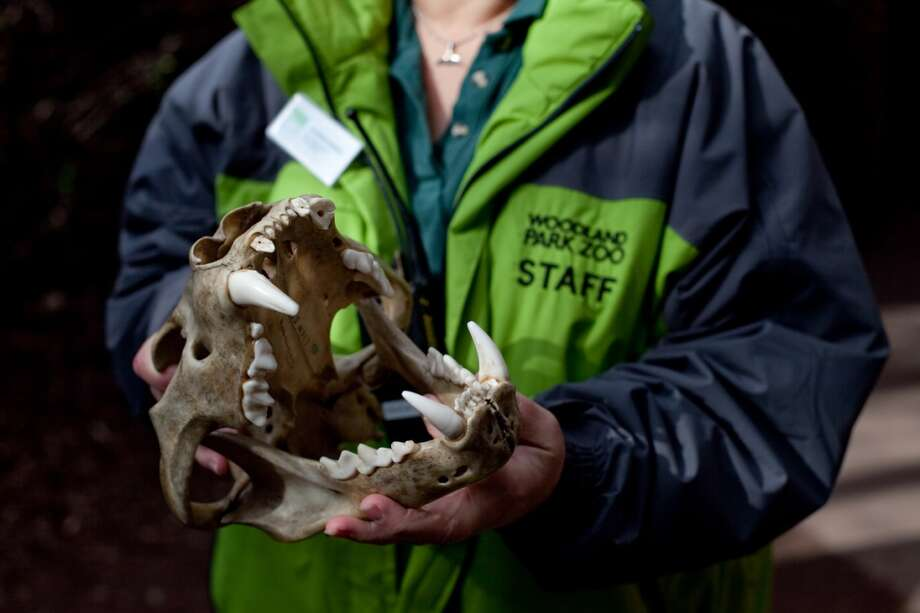 A Woodland Park Zoo staff member shows a lion skull as the lion cubs make their public debut on Saturday, February 16, 2013 at the zoo in Seattle.