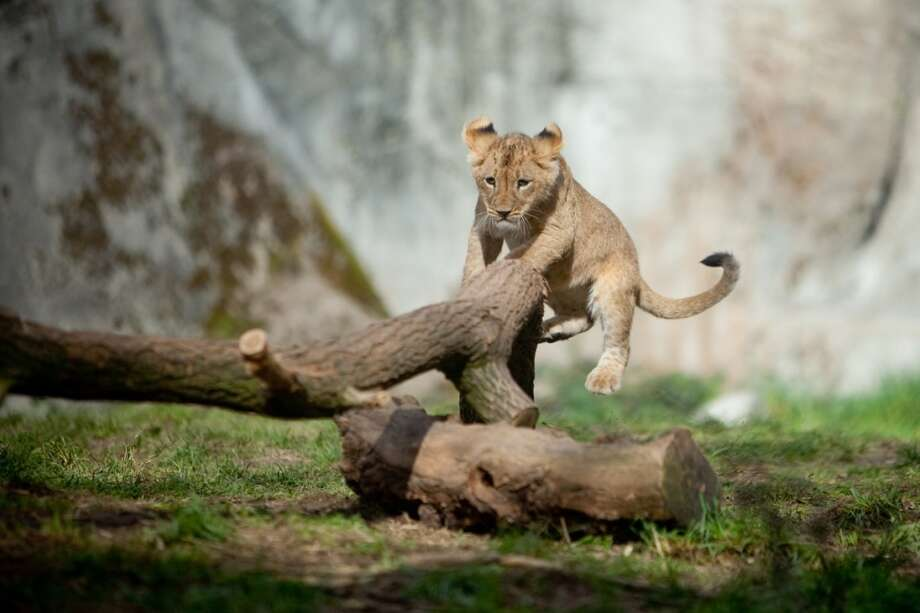 Woodland Park Zoo's new lion cubs make their public debut on Saturday, February 16, 2013 at the zoo in Seattle.
