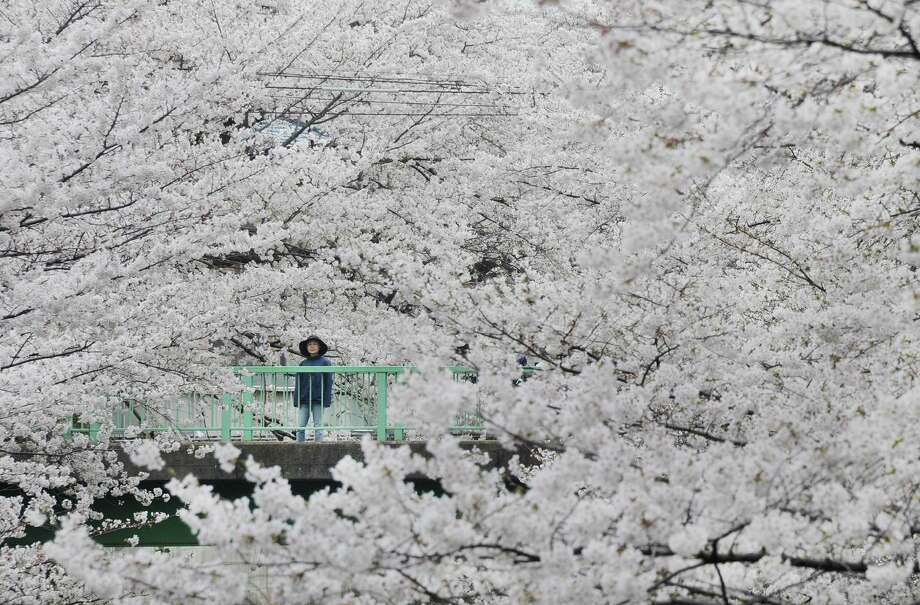 People look at cherry blossoms in full bloom in Tokyo on March 24, 2013. Tokyo's cherry blossom trees were in full bloom on March 22, Japan's weather agency said, marking the second earliest blossoming in the capital on record. Photo: TORU YAMANAKA, Getty Images / 2013 AFP