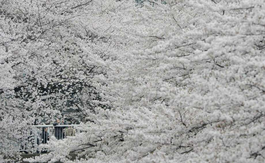 A man looks for a good angle to take pictures of cherry blossoms in full bloom in Tokyo on March 24, 2013. Tokyo's cherry blossom trees were in full bloom on March 22, Japan's weather agency said, marking the second earliest blossoming in the capital on record. Photo: TORU YAMANAKA, Getty Images / 2013 AFP