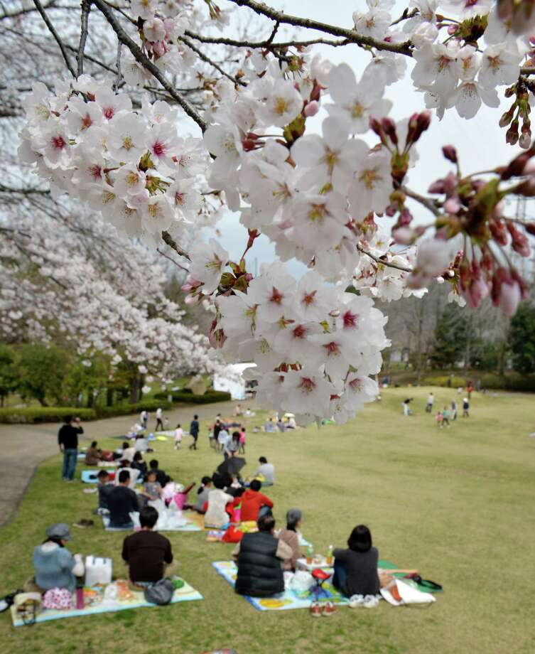 People relax under fully bloomed cherry blossom trees in Fujinomiya, about 160 kms west of Tokyo on March 23, 2013. Tokyo's cherry trees were in stunning full bloom on March 22, Japan's weather agency said, marking the second earliest blossoming in the capital on record. Photo: KAZUHIRO NOGI, Getty Images / 2013 AFP