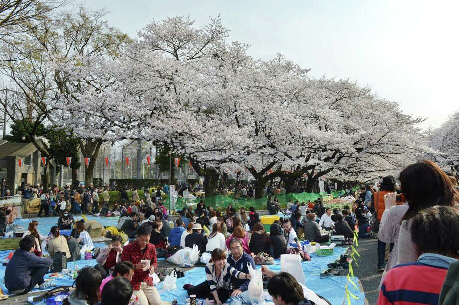 People hold a party under fully bloomed cherry blossom trees in Tokyo on March 23, 2013. Tokyo's cherry blossom trees were in full bloom on March 22, Japan's weather agency said, marking the second earliest blossoming in the capital on record. Photo: KAZUHIRO NOGI, Getty Images / 2013 AFP