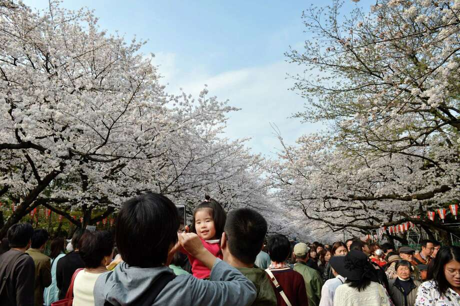 People walk under fully bloomed cherry blossom trees in Tokyo on March 23, 2013. Tokyo's cherry blossom trees were in full bloom on March 22, Japan's weather agency said, marking the second earliest blossoming in the capital on record. Photo: KAZUHIRO NOGI, Getty Images / 2013 AFP