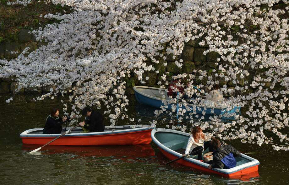 Couples row boats under fully bloomed cherry blossom trees in Tokyo on March 23, 2013. Tokyo's cherry blossom trees were in full bloom on March 22, Japan's weather agency said, marking the second earliest blossoming in the capital on record. Photo: KAZUHIRO NOGI, Getty Images / 2013 AFP