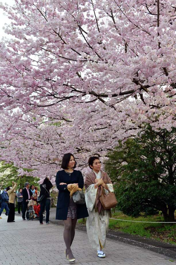 People walk under fully bloomed cherry blossom trees in Tokyo on March 22, 2013. Tokyo's cherry trees were in stunning full bloom, Japan's weather agency said, marking the second earliest blossoming in the capital on record. Photo: Getty Images