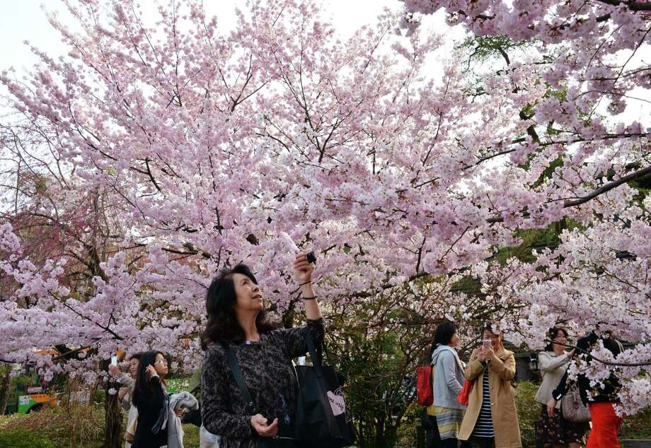 People take pictures of fully bloomed cherry blossom trees in Tokyo on March 22, 2013. Tokyo's cherry trees were in stunning full bloom, Japan's weather agency said, marking the second earliest blossoming in the capital on record. Photo: Getty Images