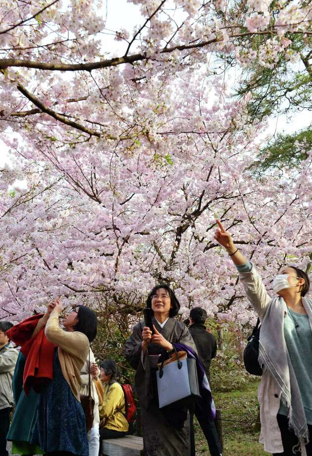 People admire fully bloomed cherry blossom trees in Tokyo on March 22, 2013. Tokyo's cherry trees were in stunning full bloom, Japan's weather agency said, marking the second earliest blossoming in the capital on record. Photo: Getty Images