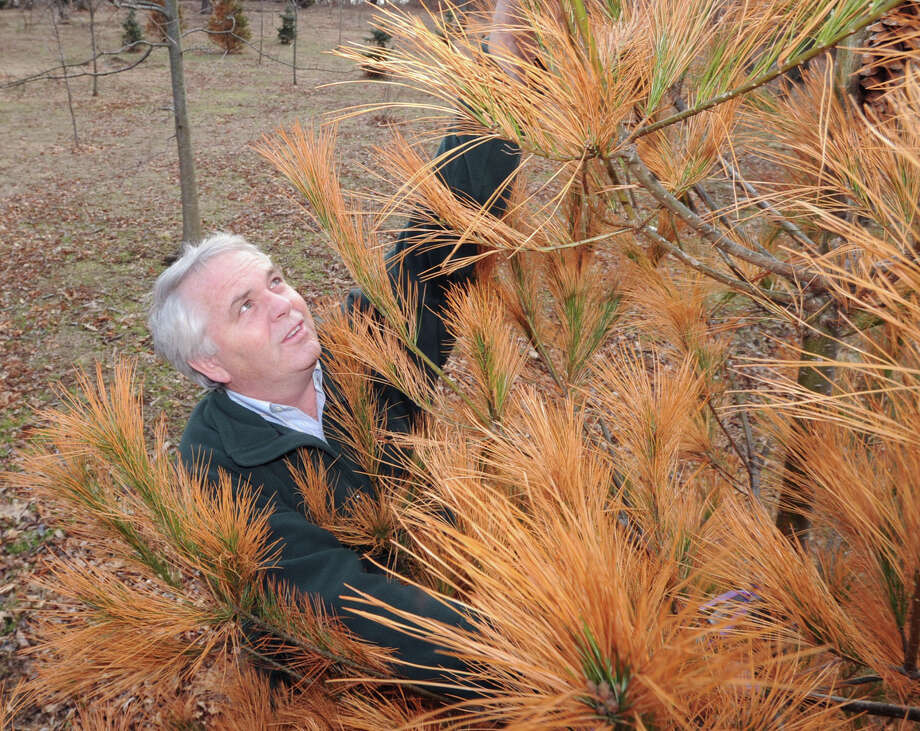 Greenwich Tree Warden Bruce Spaman inspects withering Eastern white pines at Greenwich Point, Wednesday, March 13, 2013. Spaman said the pines are suffering from salt spray-induced white pine mortality caused by Hurricane Sandy. Photo: Bob Luckey / Greenwich Time