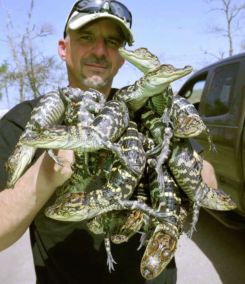 "Nederland resident Mark Merchant is a biochemistry professor at McNeese State University who is studying alligator blood for its antibiotic properties. At a facility off the main campus, he has a building that he built himself to care for baby alligators that he takes samples of blood from for his research. For new students, visitors, etc, Merchant likes to create what he calls an ""Alligator Bouquet, "" by picking up all the babies his two hands can hold.  As a child, growing up hunting and fishing in the area, he remembers seeing a big alligator with a missing leg and being amazed at how it was surviving. Now, his research involves the powerful immune system and white blood cells that makes it possible for the reptiles to recover from greivous injuries in bacteria laden swamps. Dave Ryan/The Enterprise Photo: Dave Ryan"