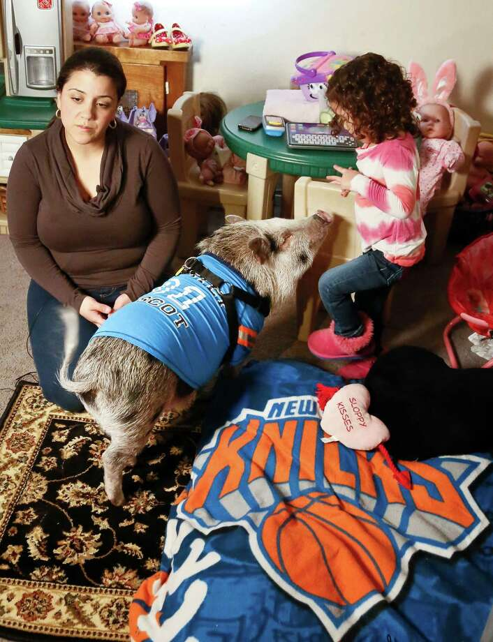 "Danielle Forgione and her daughter Olivia, 3, with Petey, the family's pet pig next to his bed wrapped in a ""Knick"" blanket, on Thursday, March 21, 2013, in the Queens borough of New York. Forgione is scrambling to sell her second-floor apartment after a neighbor complained about 1-year-old Petey the pig to the co-op board. In November and December she was issued city animal violations and in January was told by both the city and her management office that she needed to get rid of the pig. Photo: Bebeto Matthews, AP / AP"