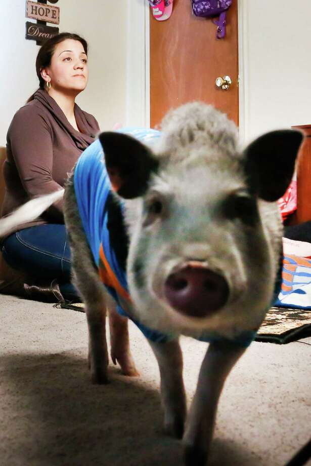 Danielle Forgione and Petey, the family's pet pig, during an interview, on Thursday, March 21, 2013, in the Queens borough of New York. Forgione is scrambling to sell her second-floor apartment after a neighbor complained about 1-year-old Petey the pig to the co-op board. In November and December she was issued city animal violations and in January was told by both the city and her management office that she needed to get rid of the pig. Photo: Bebeto Matthews, AP / AP