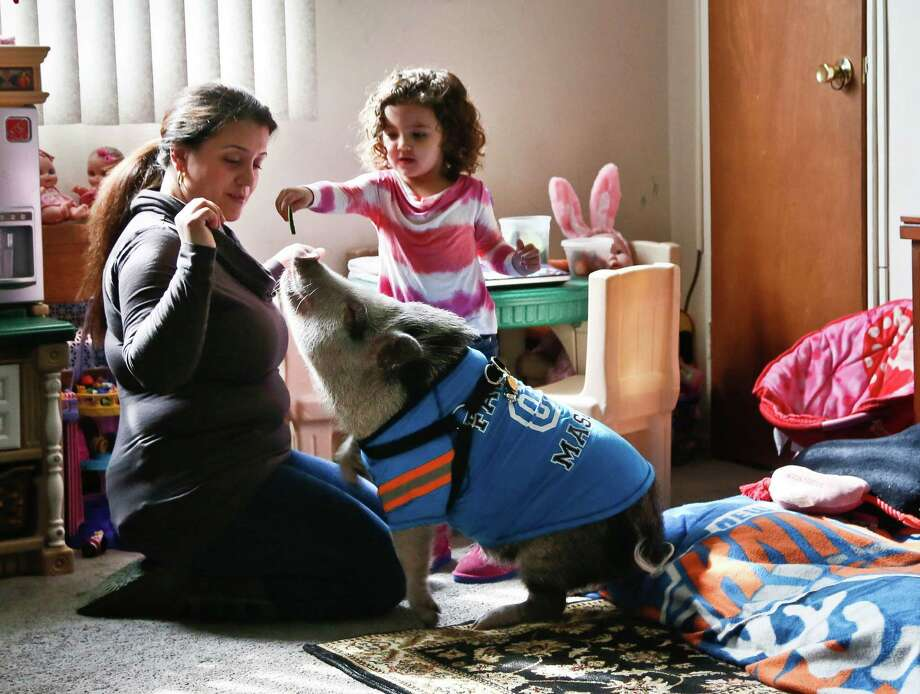 Danielle Forgione and her daughter, Olivia, 3, play with Petey, the family's pet pig, on Thursday, March 21, 2013, in the Queens borough of New York. Forgione is scrambling to sell her second-floor apartment after a neighbor complained about 1-year-old Petey the pig to the co-op board. In November and December she was issued city animal violations and in January was told by both the city and her management office that she needed to get rid of the pig. Photo: Bebeto Matthews, AP / AP
