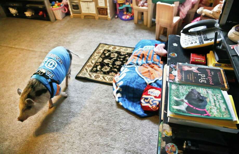 "Danielle Forgione's family pet pig Petey, walks around next to his bed wrapped in a ""Knick"" blanket, on Thursday, March 21, 2013, in the Queens borough of New York. Forgione is scrambling to sell her second-floor apartment after a neighbor complained about 1-year-old Petey the pig to the co-op board. In November and December she was issued city animal violations and in January was told by both the city and her management office that she needed to get rid of the pig. Photo: Bebeto Matthews, AP / AP"