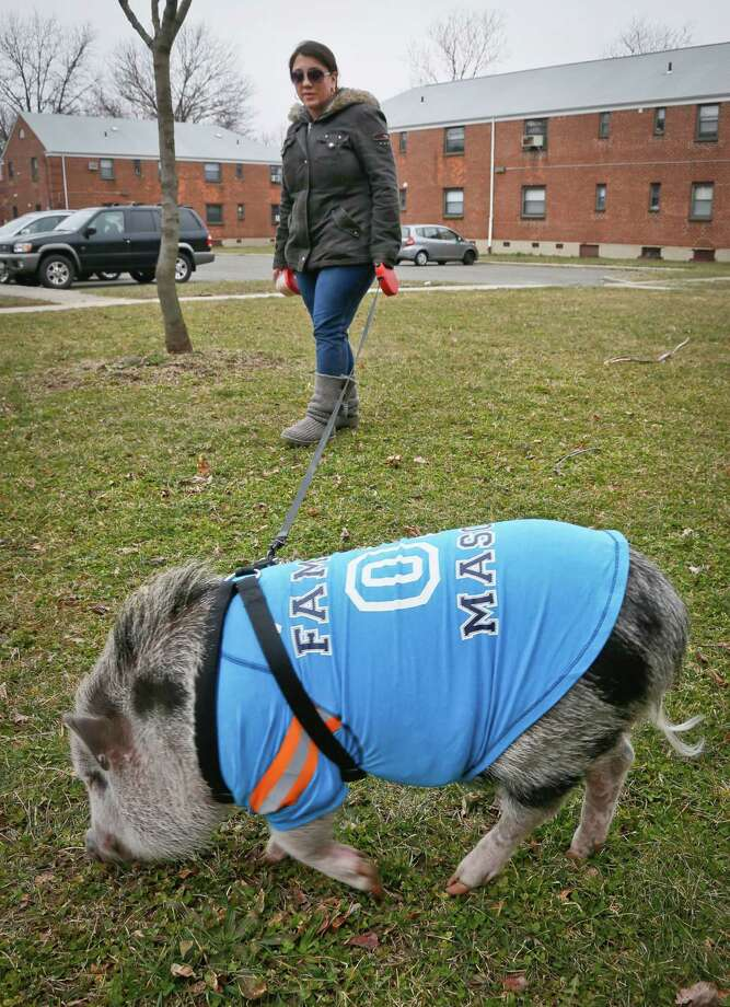 Danielle Forgione walks Petey, the family's pet pig, on Thursday, March 21, 2013, in the Queens borough of New York. Forgione is scrambling to sell her second-floor apartment after a neighbor complained about 1-year-old Petey the pig to the co-op board. In November and December she was issued city animal violations and in January was told by both the city and her management office that she needed to get rid of the pig. Photo: Bebeto Matthews, AP / AP