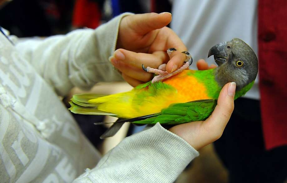 Planned parrothood: Otis, a 14-year-old Senegal parrot, latches onto prospective owner Bailey Cotrona's finger during Wilton Parrot Rescue's Parrot Adoption event in Stratford, Conn. Photo: Christian Abraham, Connecticut Post
