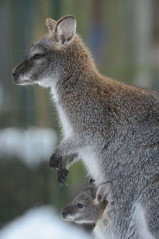 Hey, no sleeping! Get a-hoppin', Mom.A young red-necked wallaby looks out of the pouch of its mother at the zoo in Stralsund, Germany. Photo: Stefan Sauer, AFP/Getty Images