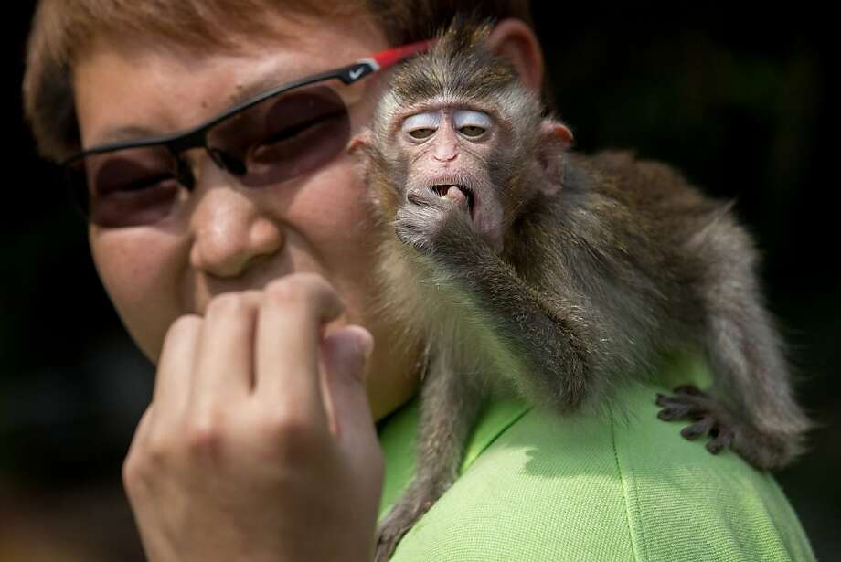 Monkey see, monkey copy: A Long Tailed Macaque apes its handler at an event promoting the opening of the River Safari at the Singapore Zoo. Photo: Chris McGrath, Getty Images