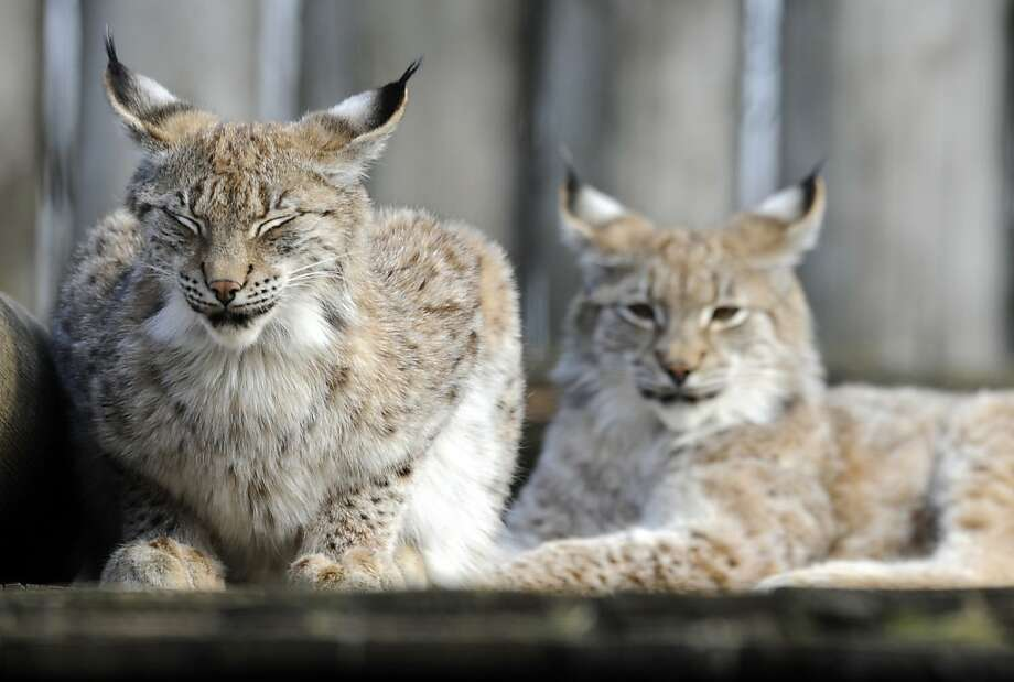 We couldn't help double-clicking on these lynx, who live at the zoo in Amneville, France. Photo: Jean-Christophe Verhaegen, AFP/Getty Images