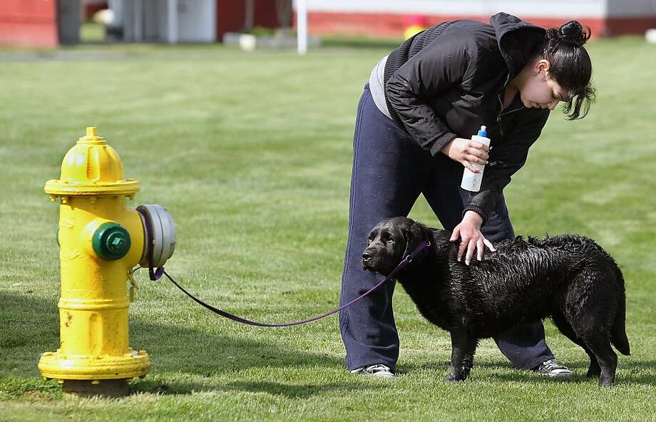 Why am I getting a bath next to the toilet? Dog handler Alexis Cisneros shampoos Kenzie ahead of the Peninsula Dog Fanciers' Club All-Breed Dog Show in Kitsap County, Wash. Photo: Larry Steagall, Associated Press