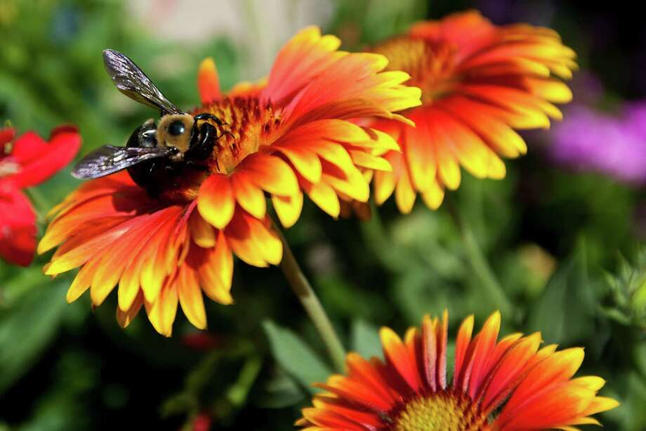 How do you attract polinaters like this bee you your flower box or backyard garden? The Massachusetts-based Xerces Society has a lot of information on specific flowers that attract different species. Photo: Patrick T Fallon, Houston Chronicle / © 2011 Houston Chronicle