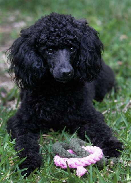 The Dyers' poodle, Lucy, got lost more than 3,000 miles from home. Photo: Melissa Phillip, Staff / © 2013  Houston Chronicle