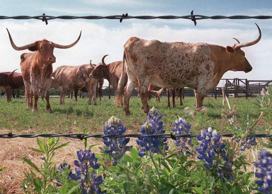 Longhorn steers, like these on a ranch southwest of Fort Worth, are as much a symbol of Texas as the state flower, bluebonnets. Photo: RON T. ENNIS, MBR / FORT WORTH STAR-TELEGRAM