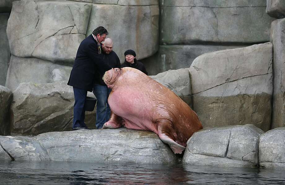 Stephan Hering-Hagenbeck (L), Zoological Director of Hagenbeck Zoo, Russian keepersAnna (R) and Ivan Pavlov (C) stand next to male walrus Odin in the Polar Sea enclosure at Hagenbeck Zoo in Hamburg,Germany, onMarch 26, 2013. After long preparations four walruses have been brought from the zoo in Moscow to Hamburg. CHRISTIAN CHARISIUS/AFP/Getty Images Photo: Christian Charisius, AFP/Getty Images