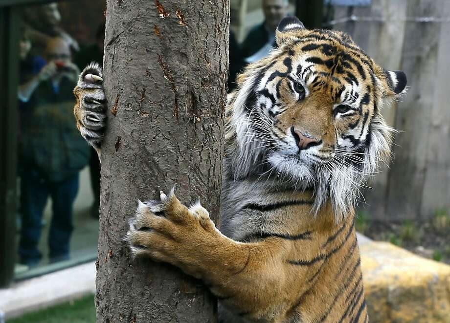 "Doing his nails: To Jae Jae, the London Zoo's handsome Sumatran, ""tree"" is just another name for cat-scratch post. Photo: Kirsty Wigglesworth, Associated Press"