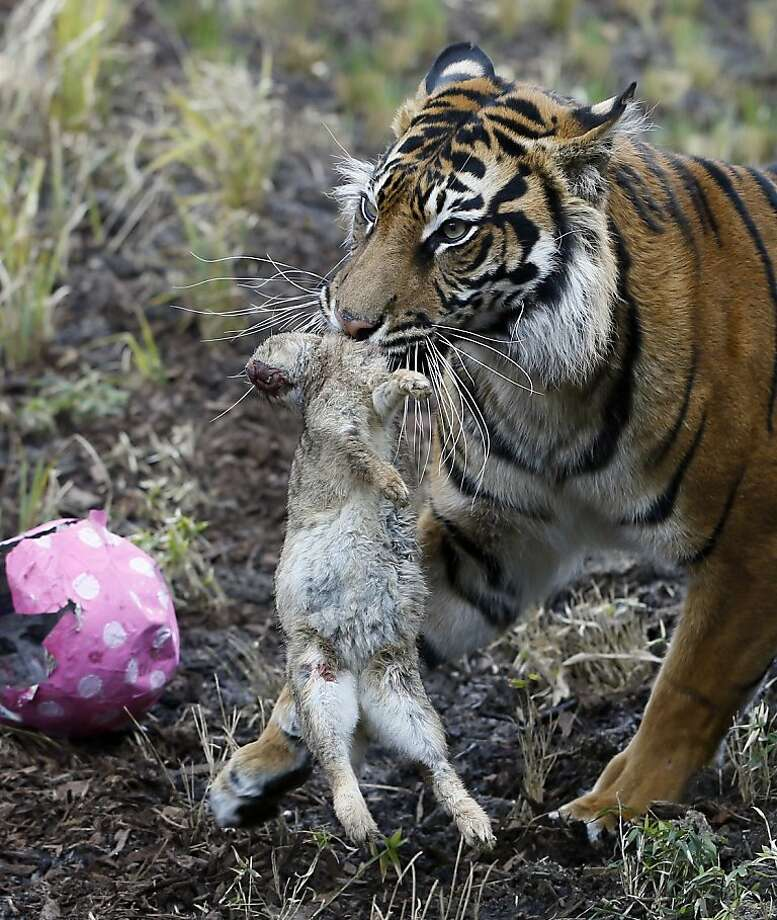 We have sad news today regarding the Easter Bunny … Actually, it's just Melati the Sumatran tiger doing what tigers do - pulling a dead rabbit out of a papier-mache Easter egg. Well, tigers at the London Zoo, anyway. Photo: Kirsty Wigglesworth, Associated Press
