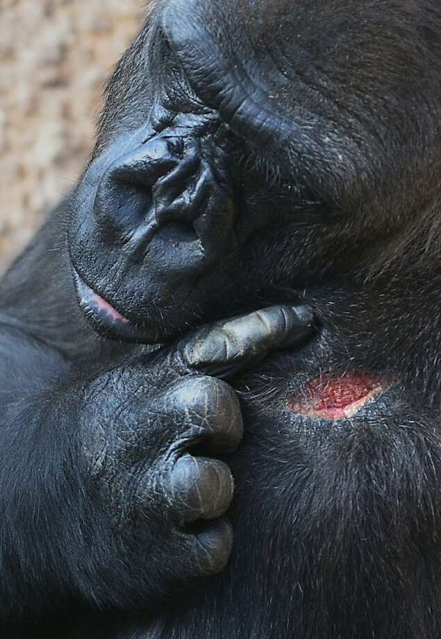 OUCH! Do you think I need stitches?A female gorilla examines a wound at the Los Angeles Zoo and Botanical Garden. Photo: Joe Klamar, AFP/Getty Images
