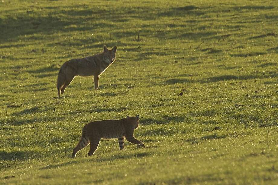 A bobcat and a coyote size each other up from close range in Point Reyes National Seashore. Photo: Courtesy Wendy Sparks