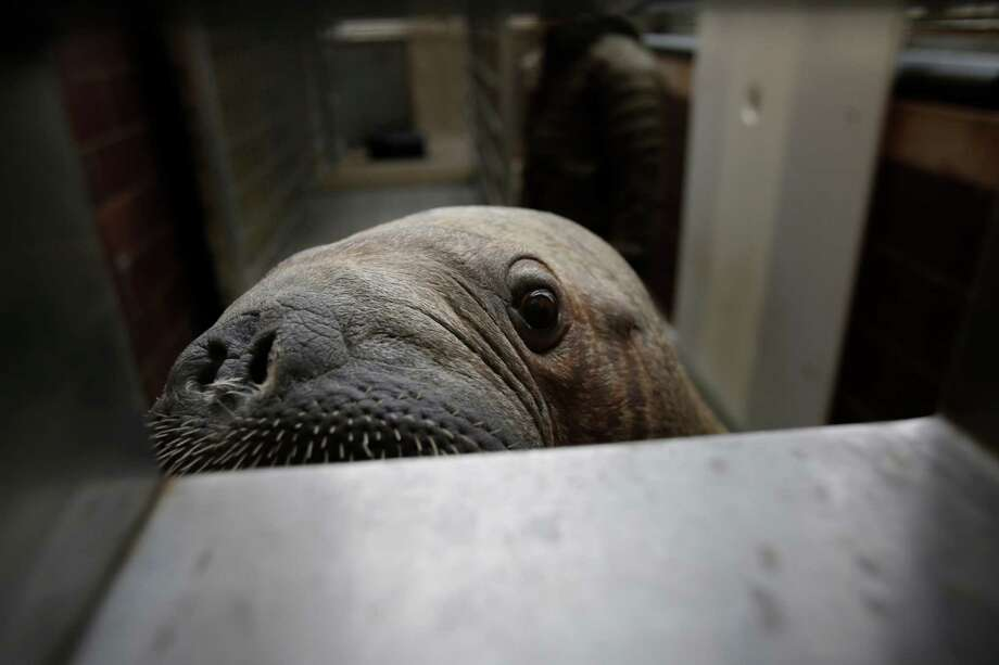 Mitik, a baby walrus who survived the flooding of his enclosure during Superstorm Sandy, checks out visitors at the Wildlife Conservation Society's New York Aquarium in Coney Island, New York, Monday, March 25, 2013.  (AP Photo/Seth Wenig) Photo: Seth Wenig