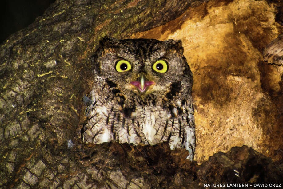 Owl in oak-tree hollow in Menlo Park / NATURES LANTERN-DAVID CRUZ