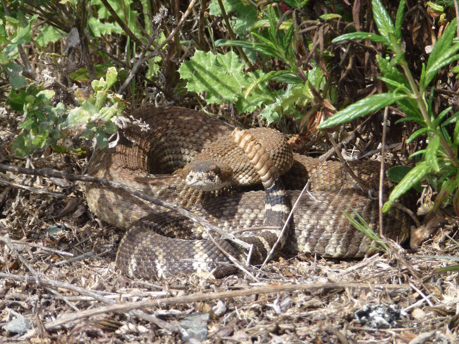 Rattlesnake at Marin Headlands