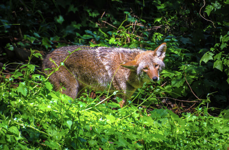 Golden Gate Park coyote, appears to be sizing up photographer / NATURES LANTERN-DAVID CRUZ