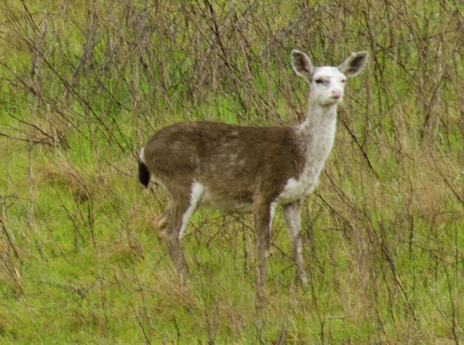 Partial albino black-tailed deer